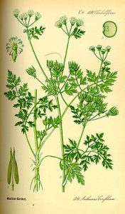 Chervil is one of the best low-FODMAP spices and herbs you can try